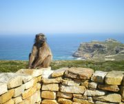 Cape Point_baboon