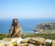 Cape Point_baboon-2